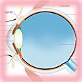 Cross-section through the human eye